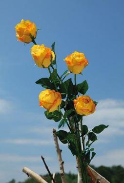 """Picture of Bocciolo rosa """"AIDA"""", h.90cm giallo"""